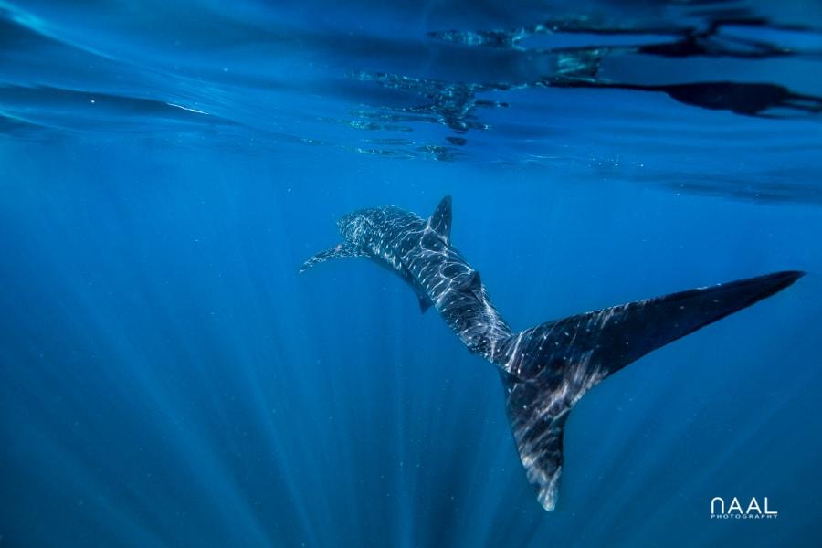 whale shark photographer